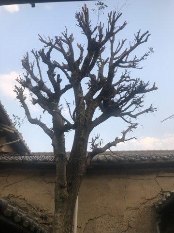 姫路市 植木が大きくなりすぎた