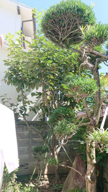 植木剪定前 (11)