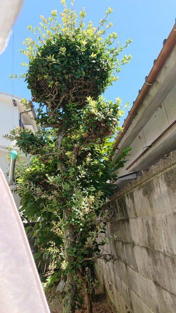 植木剪定前 (12)