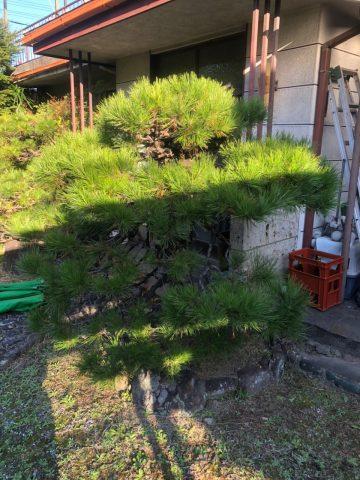 松の剪定 姫路